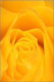 0191 - Keltainen ruusu