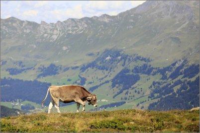 1767 - Yksinäinen lehmä Alpeilla